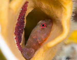 Red Clingfish with Eggs. 