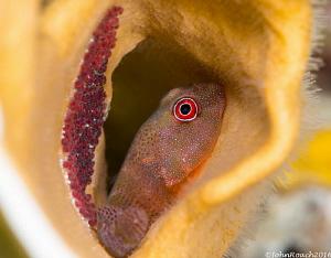 Red Clingfish with Eggs.  Acyrtus rubiginosus Bonaire D... by John Roach