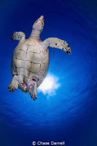 """""""Chest Bump"""" Small Hawksbill heading to the surface in G... by Chase Darnell"""