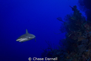 """""""Closer Look""""  Throughout the entire dive the two Caribb... by Chase Darnell"""