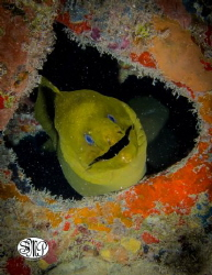 Green Eel, Shot at 100ft on the USS Vandenberg off the co... by Daniel Kolbe