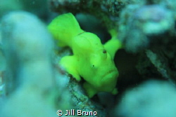 This is my first frog fish! I'v been looking for a long t... by Jill Bruno