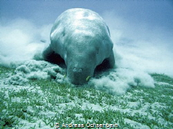 Dugong foraging together with pilot fish by Andreas Ochsenbein
