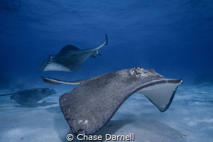 """""""Water Traffic Control"""" Southern Stingrays buzzing the s... by Chase Darnell"""
