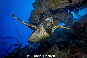 """""""Eye Ballin"""" A Hawksbill Turtle makes a close approach t... by Chase Darnell"""