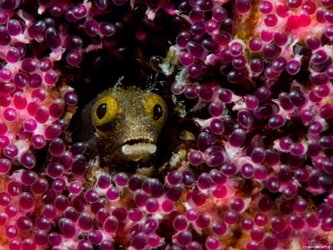 Fruit of the Loom Spinyhead Blenny Acanthemlemaria spinosa by John Roach