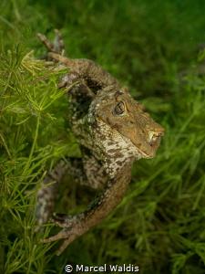 Toad ( Erdkröte) Bufo bufo by Marcel Waldis