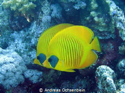 Chaetodon semilarvatus, often as pair or small group. Pic... by Andreas Ochsenbein