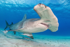 Great Hammerhead - Bahamas Bimini by Spencer Burrows