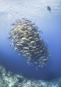 Schooling Bohar Snappers at Ras Mohammed. by Nick Blake