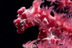 Curious Pygmy Seahorse (Hippocampus bargibanti) by Aja Radl