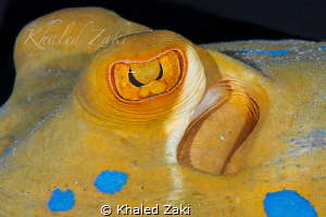 Blue spotted sting ray by Khaled Zaki