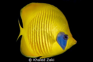Massked Butterfly fish by Khaled Zaki