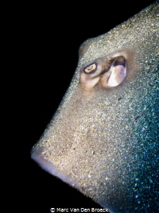 stingray's eye by Marc Van Den Broeck