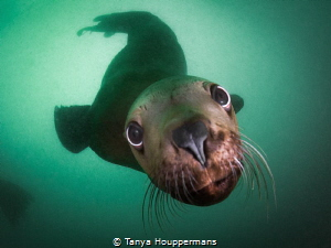 Sea Lion Smooch - A Steller sea lion in the waters off of... by Tanya Houppermans