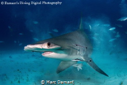 """ Sonic Boom "" A Great Atlantic Hammerhead bursting thru ... by Marc Damant"