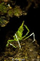 Attention! -Arrowhead Crab (Huenia heraldica) by Aja Radl