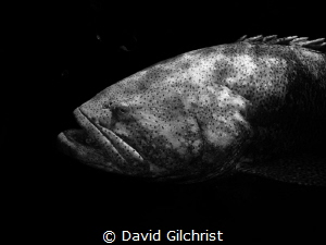 Goliath Grouper, Looe Key Reef National Marine Sanctuary. by David Gilchrist