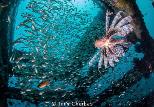 Lionfish hunting for breakfast by Tony Cherbas