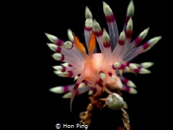 Flabellina exoptata. by Hon Ping