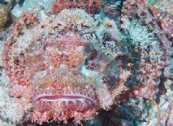 Scorpion fish taken behind Yolanda reef, Ras Mohamed Park... by Nikki Van Veelen