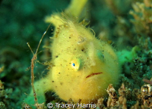 Frogfish and friend:) by Tracey Harris