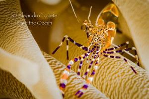 Litle fantasy shrimp, Klein Bonaire by Alejandro Topete