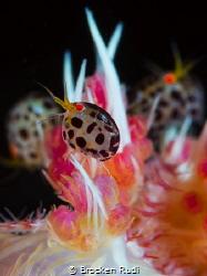 Ladybugs by Brocken Rudi