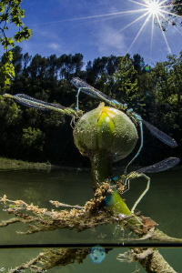 dragonflies (Lez river) by Mathieu Foulquié