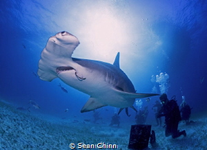 Great Hammerhead in Bimini by Sean Chinn