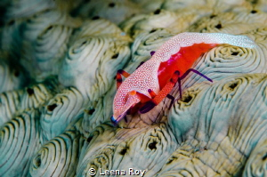Emperor shrimp on sea cucumber by Leena Roy