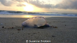 Portuguese Man-of-War at sunrise, taken in West Palm Beac... by Suzanne Erickson