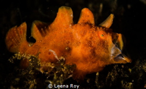 Yawning frogfish by Leena Roy