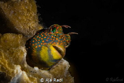 Tesselated Blenny (Hypsoblennius invemar) by Aja Radl