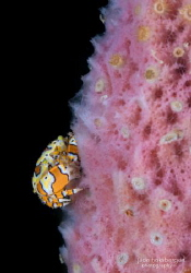 Picasso-esque Crustacean: the Gaudy Clown Crab by Jade Hoksbergen