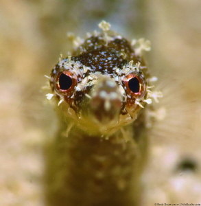 Diamond Pipefish located at Little Little Bight on Utila,... by Brad Ryon