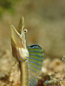 Blue Throat Pike Blenny, (Chaenopsis ocellata) Little Lit... by Brad Ryon