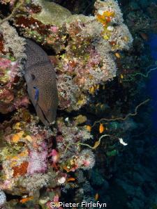 morray eel by Pieter Firlefyn