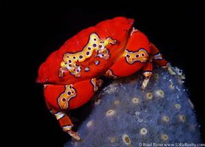Gaudy Clown Crab - Platypodiella spectabilis; Utila, Hond... by Brad Ryon