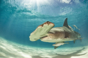 Great Hammerhead Bahamas/Bimini by Spencer Burrows
