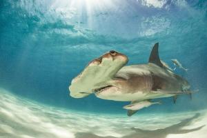 Great Hammerhead Bahamas/Bimini by Spencer Burrows