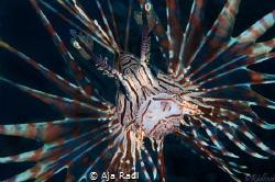 Common Lionfish (Pterois volitans) by Aja Radl