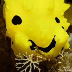 Smiley face (nudi detail - Notodoris minor) by Raoul Caprez