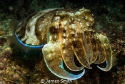 Broad Club Cuttlefish by James Smith