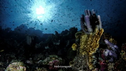 Stove-Pipe Sponge in Tomini Bay, South Bolaang Mongondow,... by Melriansyah Df