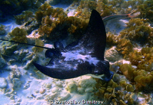 This eagle ray came when we were at snorkeling close to t... by Svetoslav Dimitrov
