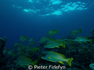 Sweetlips by Pieter Firlefyn