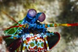 mantis shrimp by Walter Lackner
