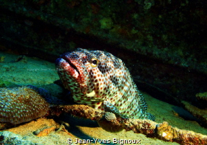 Grouper on the Stella Maru shipwreck,Mauritius,Republique... by Jean-Yves Bignoux