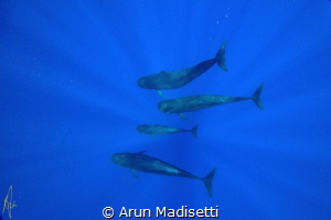 pilot whale family unit, part of a megapod. (taken under ... by Arun Madisetti